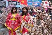 Mãn nhãn với hoa anh đào Nhật Bản nở rộ dưới mưa xuân Hà Nội