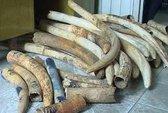 Truy nguồn gốc gần 1,5 tấn ngà voi bị bắt giữ tại Bạc Liêu