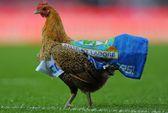 Bồ Đào Nha: Trận đấu tạm dừng vì... gà mái xổng chuồng