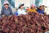 """Nho Ninh Thuận - """"Thương hiệu nông nghiệp nổi tiếng Việt Nam"""""""