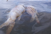 Cá chết bất thường trên sông Bàn Thạch