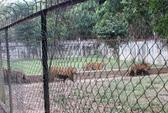 11 con hổ được nuôi nhốt trái phép ở Thanh Hóa