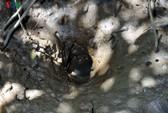 Câu cá thòi lòi ở rừng ngập mặn Cà Mau