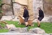 tiger-2-1510460289721.jpg