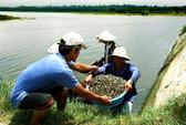 Thương lái Trung Quốc ồ ạt thu gom tôm nguyên liệu