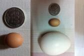 Ngắm quả trứng gà kỳ lạ ở Hà Nội