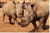 Nam Phi cấm người Việt săn tê giác