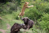 """""""Chiến binh"""" trâu húc sư tử lộn nhào"""