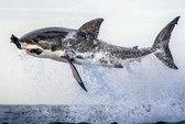 Cá mập bay lên không trung để bắt mồi