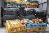 Bắt 4 tấn gà thải, nầm thối Trung Quốc đưa về Hà Nội