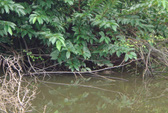 Còn 7 con cá sấu sổng chuồng?