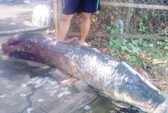 Thêm cá huyết rồng 80 kg chết