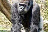 Khỉ đột ăn gỗ mục để lấy natri