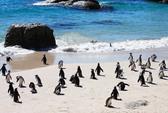 Chim cánh cụt chết hàng loạt dạt vào bờ biển Chile