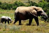Nam Phi: Một người Việt ra tòa vì nuôi nhốt động vật hoang dã