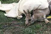 Kangaroo bị tên bắn xuyên đầu 1 tuần vẫn sống sót