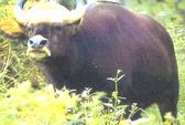 Xuất hiện đàn bò tót phá rừng tái sinh ở Đồng Nai