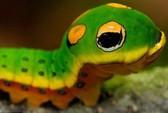 Sâu bướm ngụy trang thành rắn