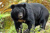 Dùng mật gấu nhiều dẫn tới xơ gan, ung thư!