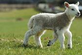 Cừu 5 chân vừa chào đời ở Anh