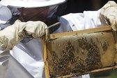 """Huấn luyện ong mật thành """"chuyên gia dò mìn"""""""