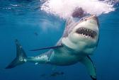 Mỹ: Cá mập tấn công chết người ở California