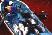 Thảm sát đẫm máu cá heo ở Nhật