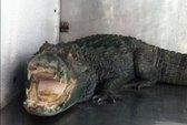 Nuôi cá sấu khủng ... giữ nhà