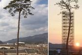 Cận cảnh tượng đài cây thông bất tử Nhật Bản