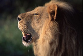 """""""Hẹn hò"""" trong rừng, cô gái bị sư tử vồ chết"""