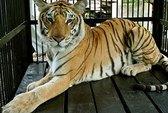 Hổ xổng chuồng, chui vào nhà vệ sinh nữ