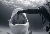 Cho cá mập sát thủ ...ăn