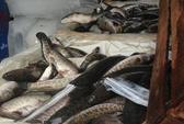 Nhập lậu cả ngàn con ếch, cá quả từ Trung Quốc