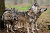 Cả bầy sói vồ chết nhân viên vườn thú