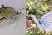 Xuất hiện loài bướm khác thường ở Fukushima