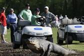 Cá sấu 3 chân quậy tưng sân golf