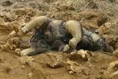 Voi con chết gục trong Vườn Quốc gia Yok Đôn