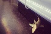 Cá mập trên tàu điện ngầm New York