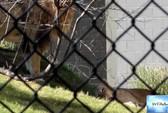 Sư tử đực cắn chết sư tử cái trong sở thú