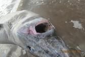 Giải cứu cá mập bị… nghẹt thở
