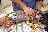 Đối mặt án tù vì để... chó bị cắt chân