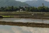 Vụ lúa dỏm hại cánh đồng mẫu lớn: Nông dân được bồi thường
