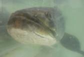 """Cá lóc """"khủng"""" nặng gần 10kg"""