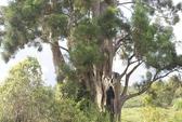 Chuyện lạ về cây thủy tùng ở Krông Năng