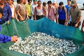 Sáng nay, ngư dân Đà Nẵng trúng cá lớn
