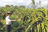 Người Đài Loan thuê đất trồng thanh long ở Bình Thuận