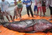 Hà Tĩnh: Cá voi 3 tạ dạt vào bờ