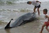 Quảng Bình: Cá voi lụy bờ