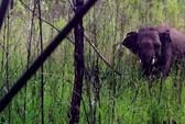 Phát hiện voi rừng bị thương nặng do dính bẫy