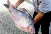Bắt được cá mè vinh nặng 10 kg